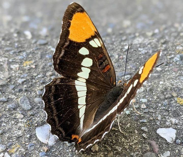 a butterfly on sidewalk